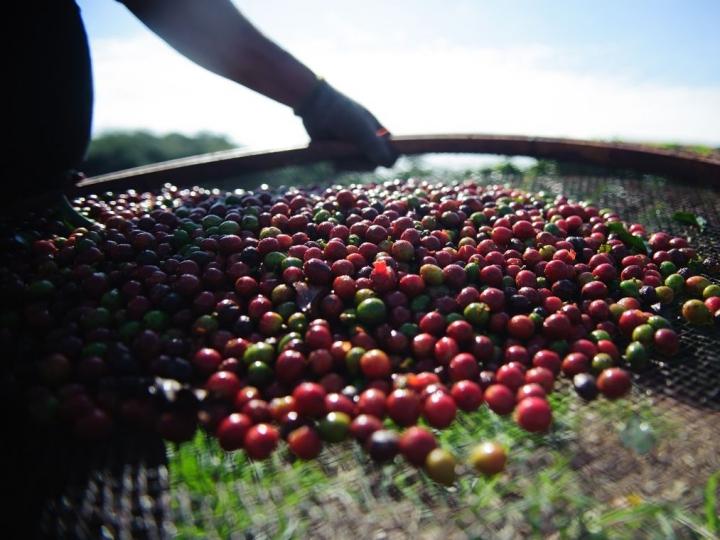 Queda de 20% na produção de café nesta safra