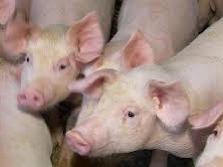 Comissão técnica é criada para debater ações preventivas à peste suína africana