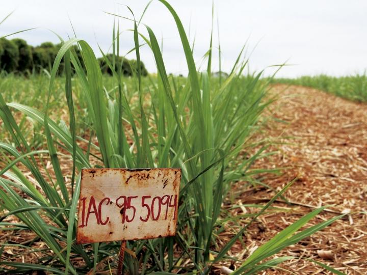 IAC orienta sobre os benefícios da irrigação na cana-de-açúcar