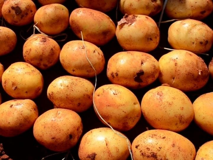 PepsiCo tem 100% de sua produção de batata sustentável