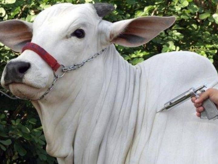 Mais de 84 milhões de animais foram vacinados contra febre aftosa no país
