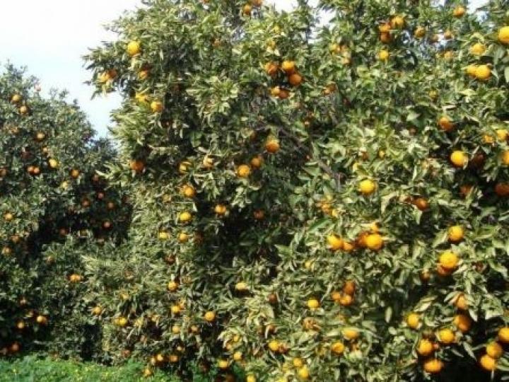 Cana e laranja estabilizam, grãos devem ter aumento de produção e produtividade