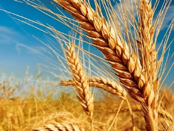 Bons preços de mercado devem incentivar produção de trigo em São Paulo