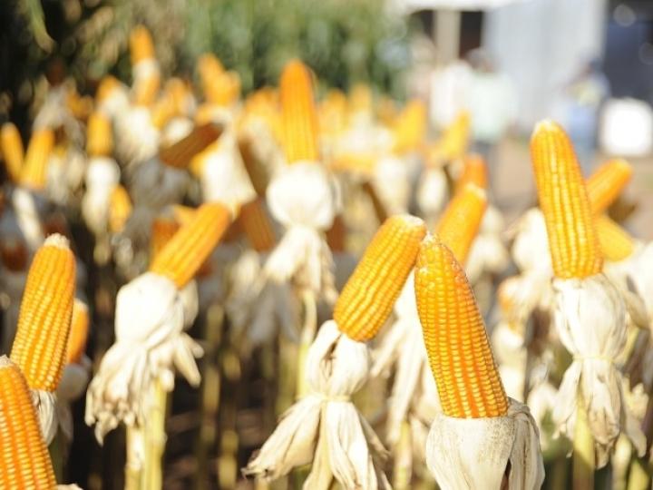 Etanol de milho se destaca na entressafra da cana-de-açúcar no Centro-Sul