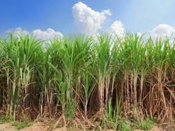 Conab: dados sobre produção de cana