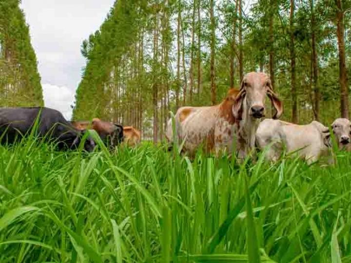 Vacas que pastejam na sombra produzem quatro vezes mais embriões