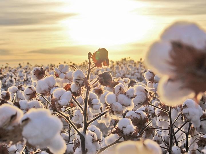 Clima favorece cultura do algodão