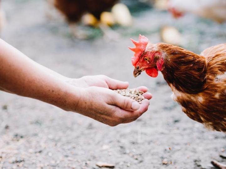 Como a nutrição de precisão pode contribuir na produção de carne de frango
