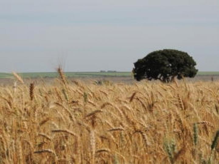 A relevância do trigo em sistemas de produção é tema de webinar da Embrapa