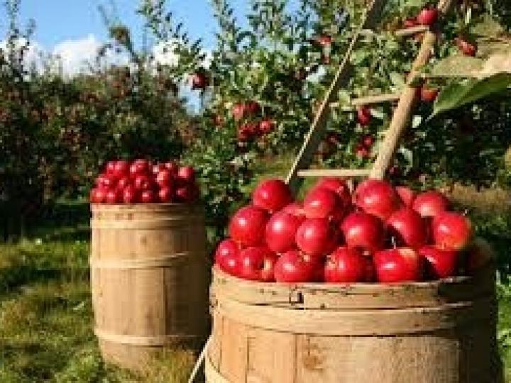 Irrigação melhora o desempenho de pomares de maçãs no Sul