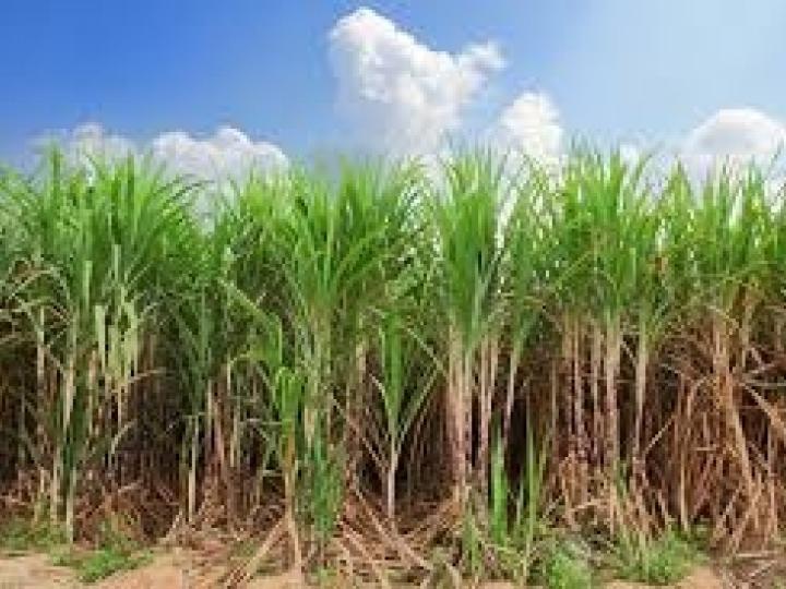 Syngenta: novo herbicida pré-emergente para cana