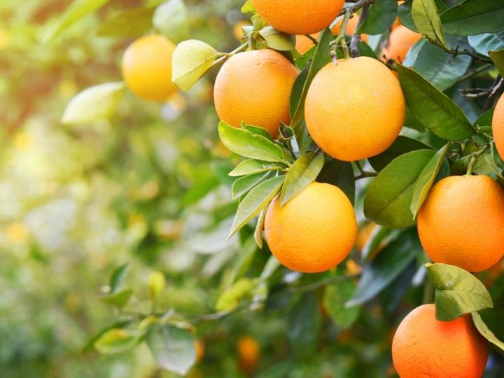 Previsão de aumento de estoques de suco de laranja