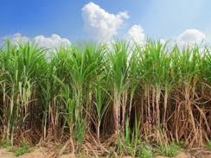 Safra da cana brasileira é direcionada à produção de açúcar