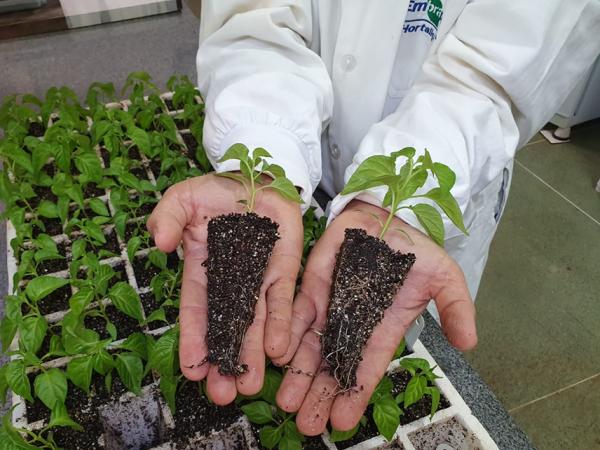 O hidrogel nanocompósito deverá ser testado em outras espécies de hortaliças. A possibilidade de inserir diferentes nutrientes essenciais será analisada - Foto: Henrique Carvalho