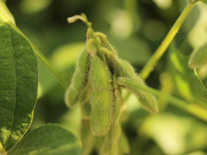 Irrigação inteligente promove estabilidade e aumento da produtividade da soja