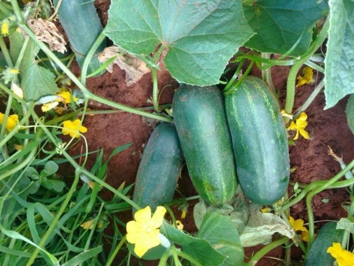 Produtores aprovam variedades de pepinos