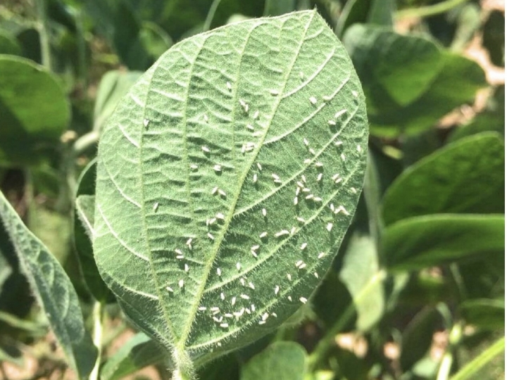 Rede de ensaios de mosca branca comprova eficiência do Trivor