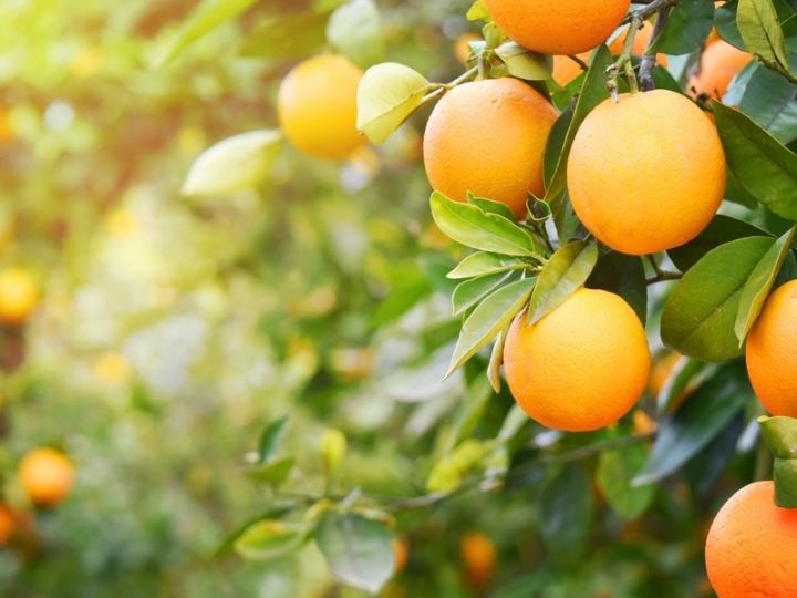 Exportações de suco de laranja seguem em alta
