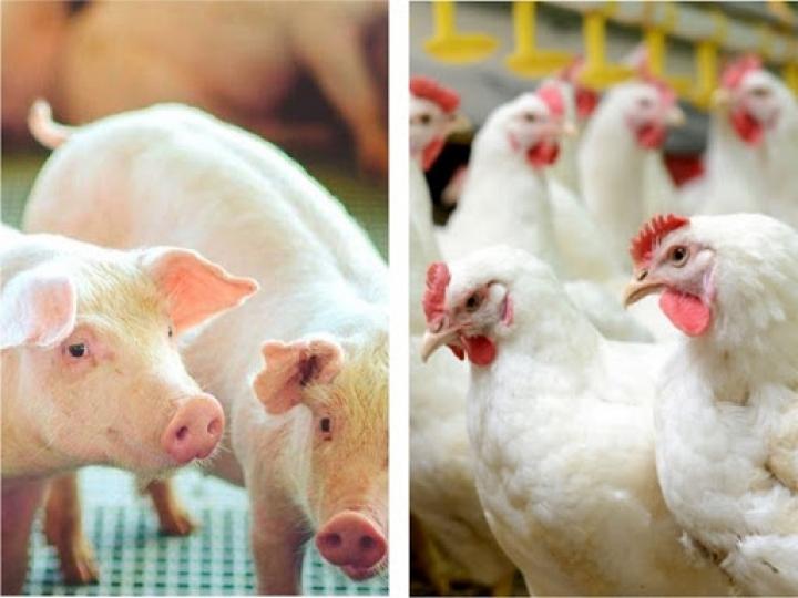 Pesquisa mostra como as indústrias de ovos,  frangos e suínos sofrem os efeitos da pandemia