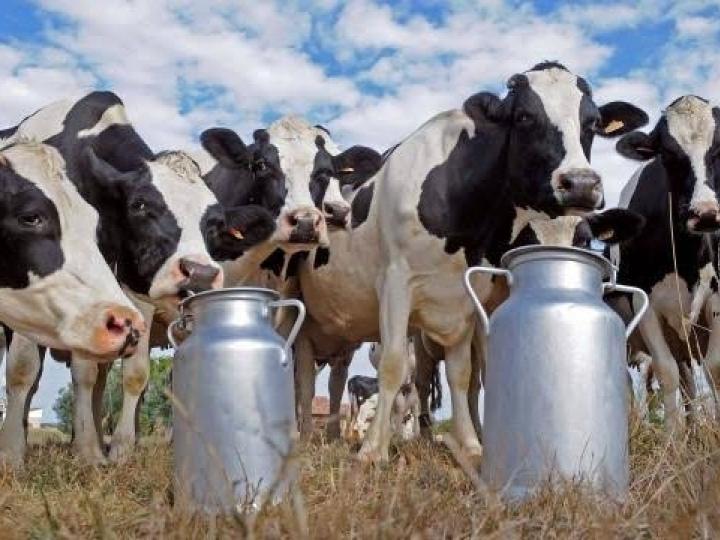 Pecuária leiteira: workshop online debate sobre o uso de recursos de inteligência animal e o impacto na eficiência produtiva