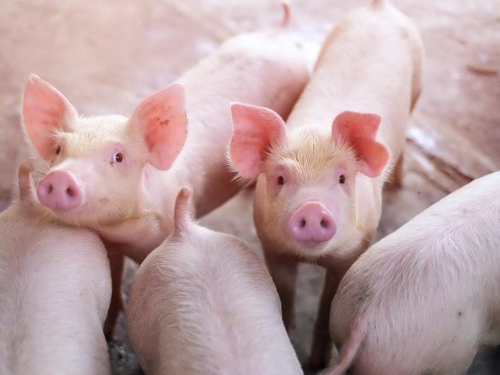 Coronavírus e Peste Suína Africana aumentam demanda internacional por carne suína brasileira