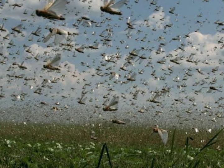 Ministério da Agricultura monitora nuvem de gafanhotos
