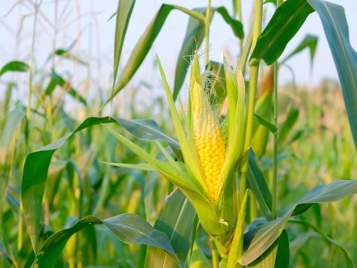 Efeito das chuvas no milho safrinha