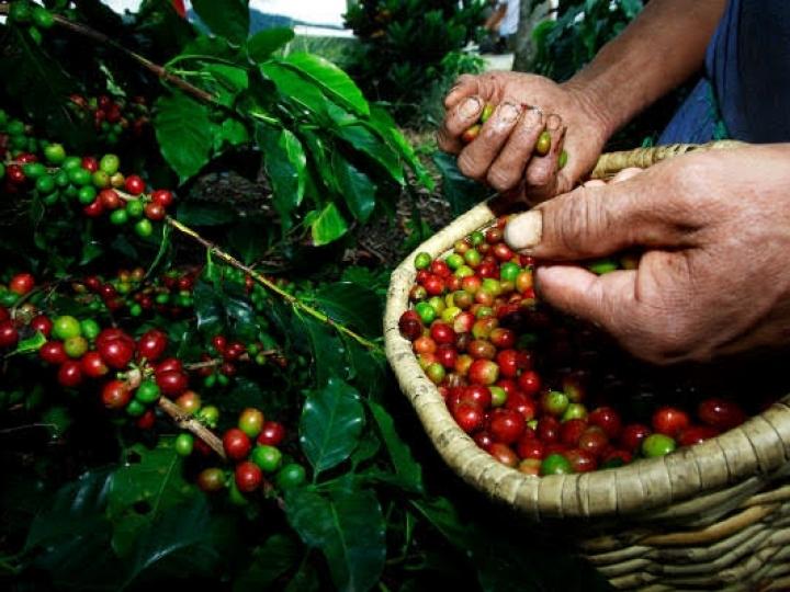 Conab adia pesquisa de campo para levantamento da safra de café 2020