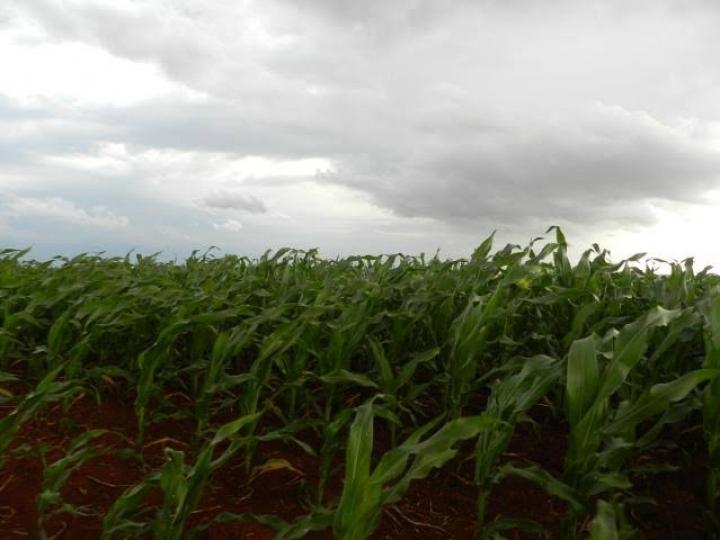 Chuvas beneficiam lavouras de milho segunda safra