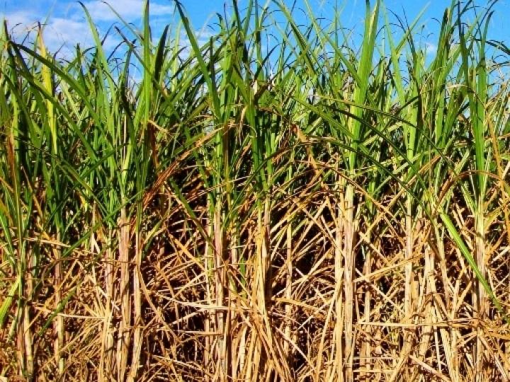 Entenda por que compensa aplicar maturadores para elevar o nível de açúcar no canavial