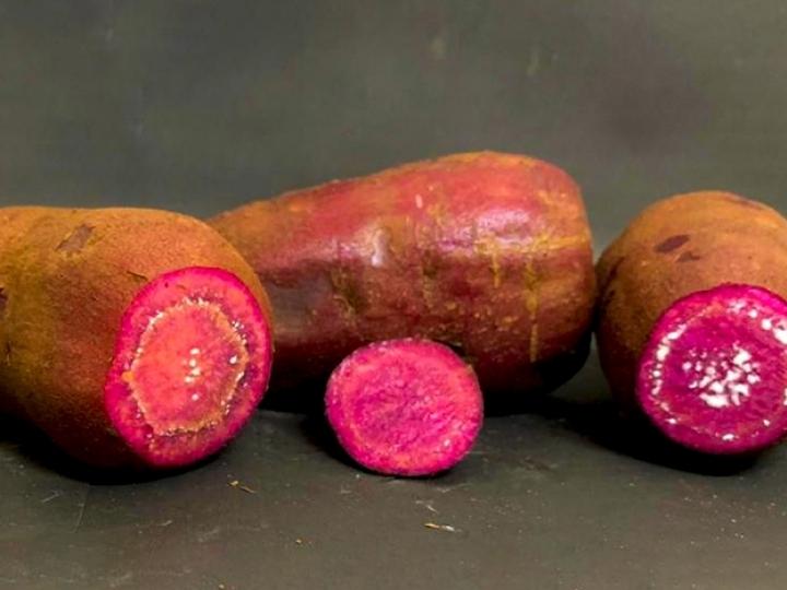 Pesquisas podem revolucionar cultura regional da batata-doce