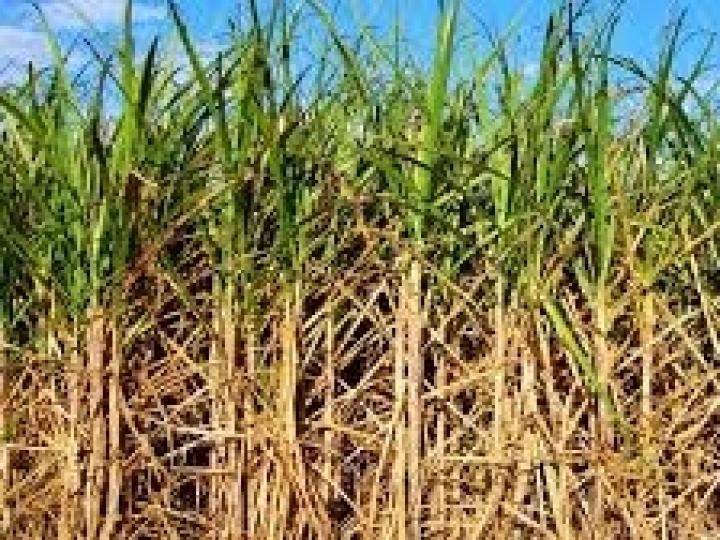 Produtor pode economizar até 20% com plantio de cana de baixa densidade
