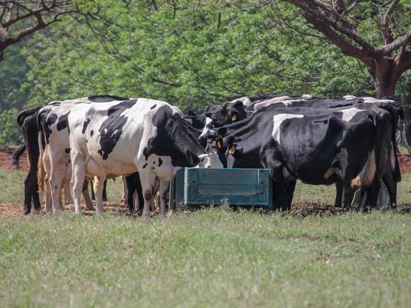 Para o cálculo do balanço de nutrientes do sistema de produção, os animais foram divididos em grupos.  Foto: Juliana Sussai