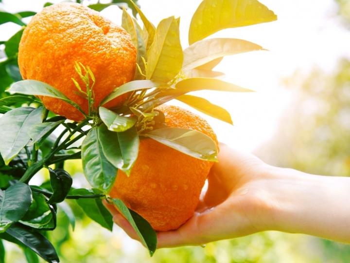 Fórmula inédita para o manejo do greening na citricultura