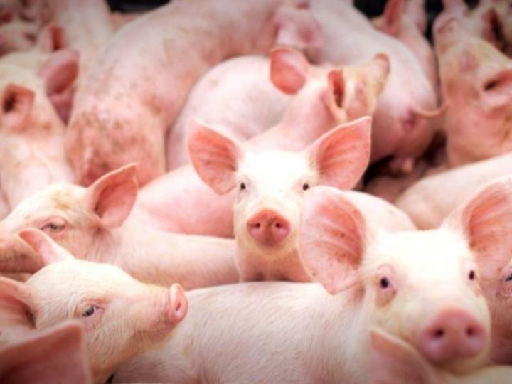 Criação de suínos livres do uso de antibióticos promotores de crescimento