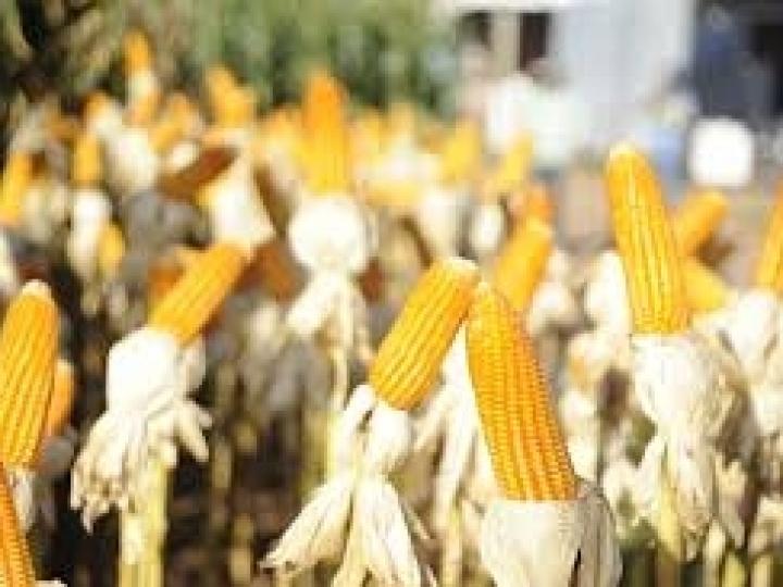 Primeira usina brasileira de etanol de milho inova com créditos verdes