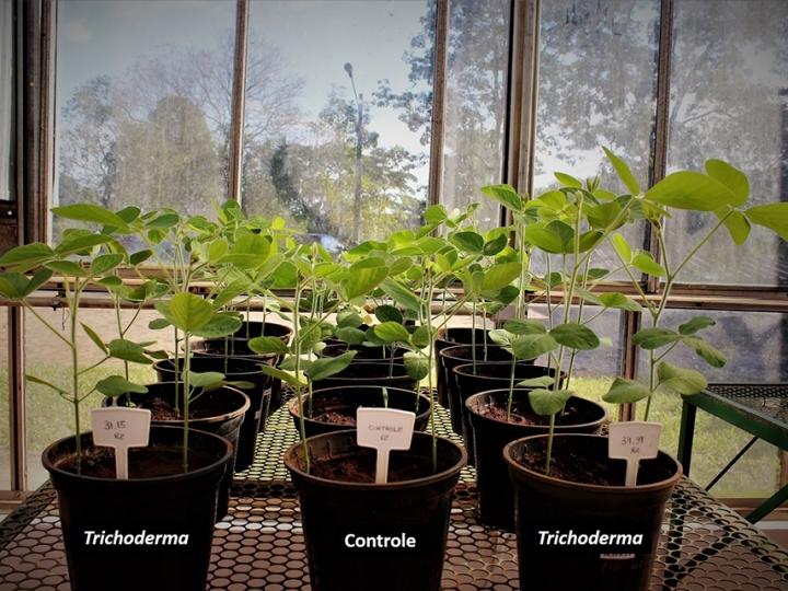 Fungo da Amazônia melhora desenvolvimento de sojaE