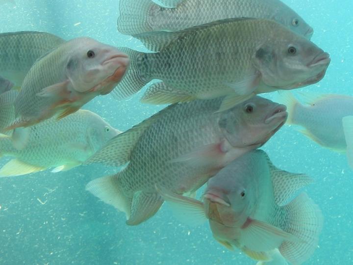 Cientistas usam organismos aquáticos para estabelecer níveis seguros de agroquímicos
