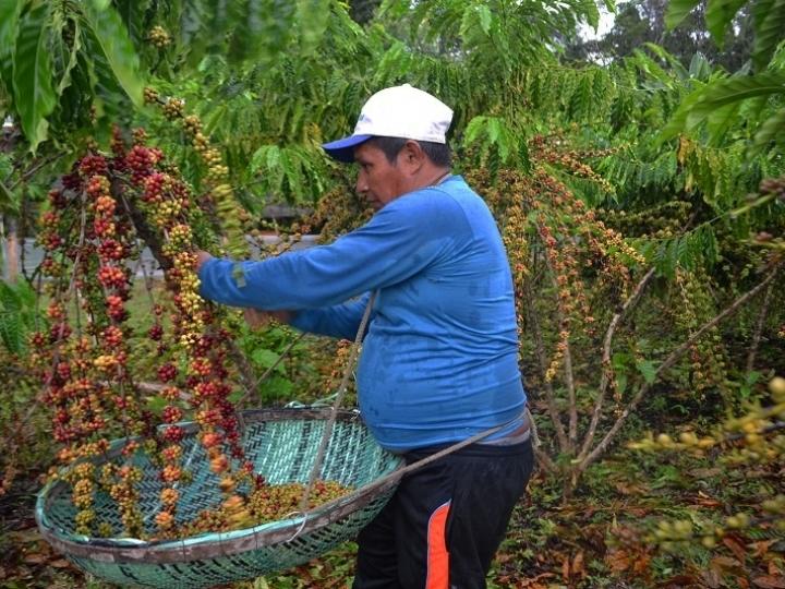 Embrapa é precursora da cafeicultura clonal no Amazonas