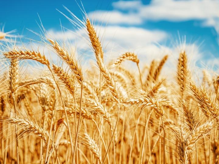 Safra 2020 projeta números positivos para o trigo brasileiro