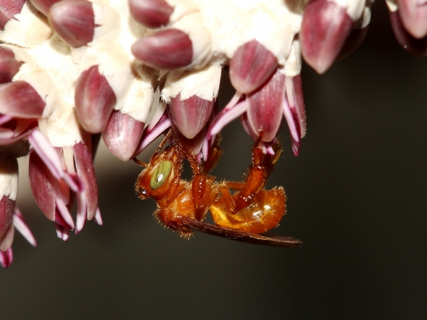 A equipe de pesquisa, ao estudar o número de grãos de pólen de açaí transportados pelos insetos, descobriu que as abelhas nativas são o grupo de polinizadores mais eficaz - Foto: Cristiano Menezes
