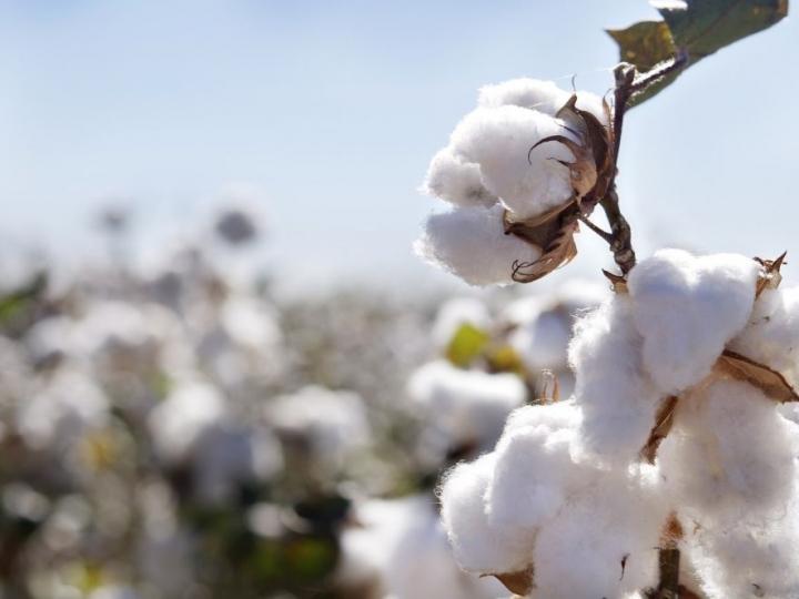 Corteva Agriscience e TMG levam inovação e proteção ao algodão