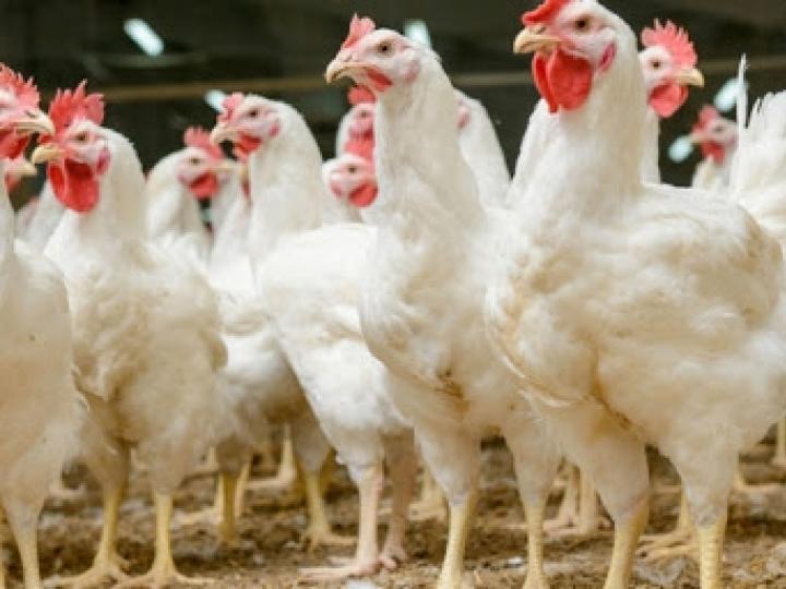 Resposta vacinal dos betaglucanos na avicultura