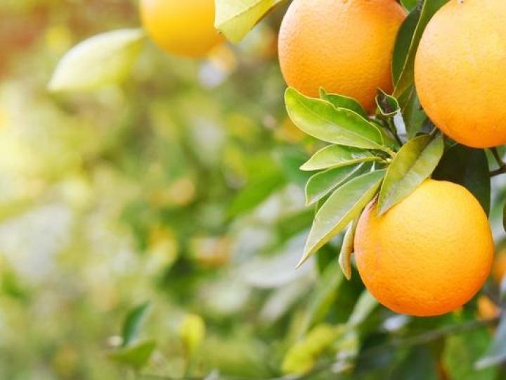 A importância do boro nas plantações de citros