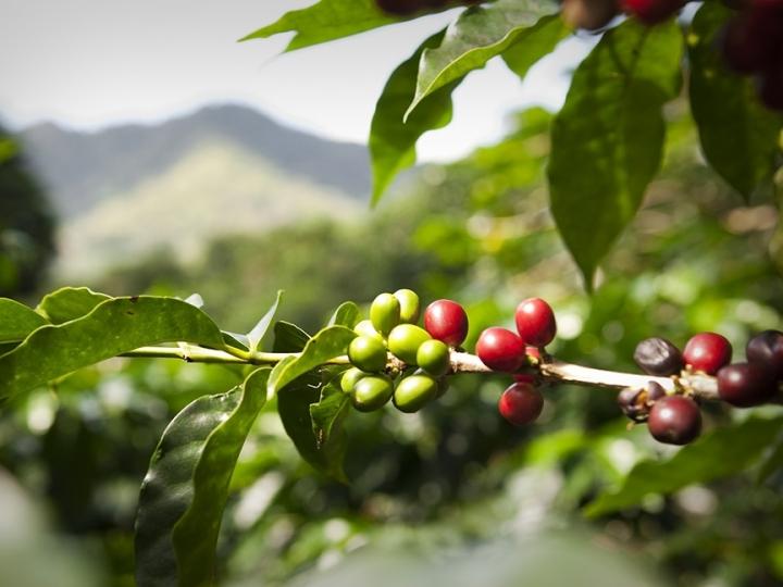 Tecnologia para colheita do café em montanhas causa impacto positivo de R$ 770mi