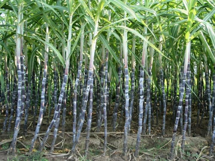 Usina Coaf inicia moagem e produção também de açúcar e energia