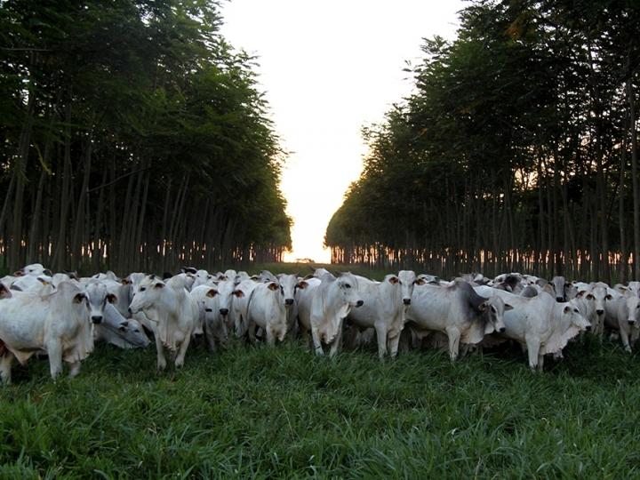 Pesquisa desenvolve protocolo para produzir carne neutralizando gases