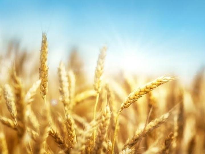 Trigo na Bahia pode alcançar 20 mil hectares