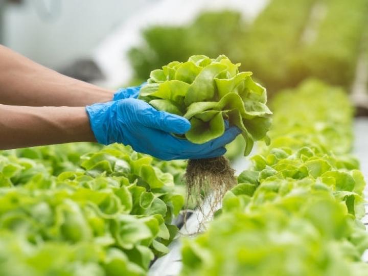 IAC aumenta em 16 vezes o teor de zinco nas folhas de alface