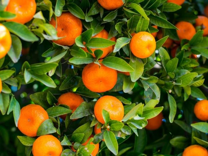 Bactérias da folha da laranja podem reduzir impacto de agrotóxicos na natureza